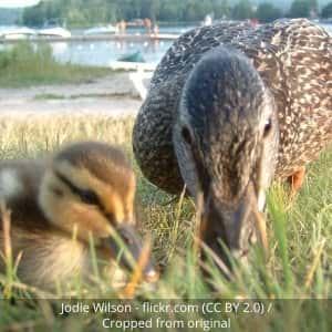 ducks eating seeds