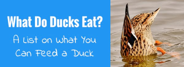 what do ducks eat