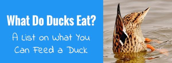 what do ducks eat